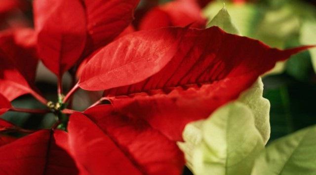 flor de pasqua