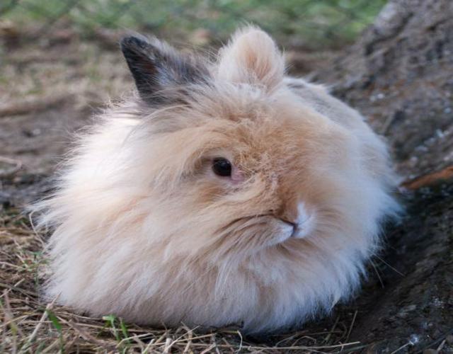 un conejo de angora