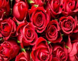 Cómo podar las rosas