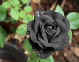 las rosas negras