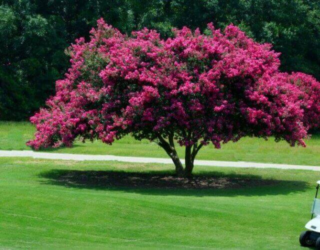 árbol de Júpiter