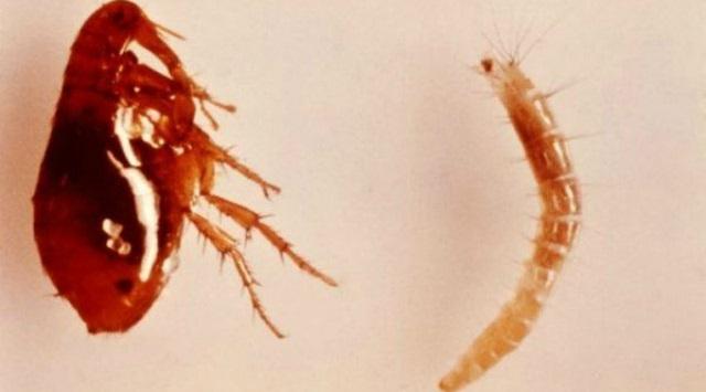 picaduras de pulgas