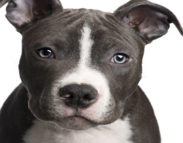Cómo cuidar un perro américan stanford