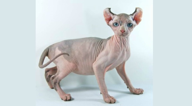 razas de gato sin pelo