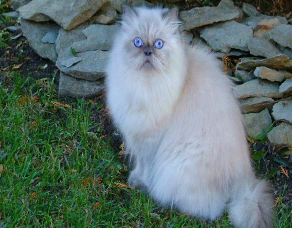 un gato persa