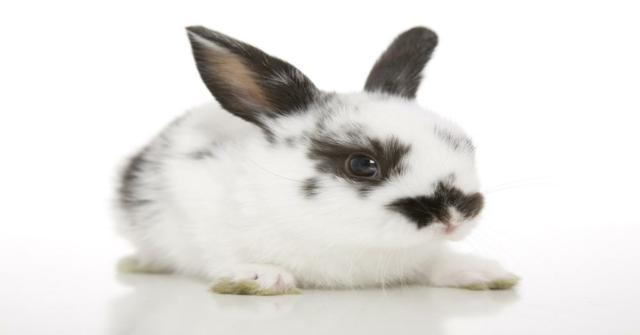 un conejo toy