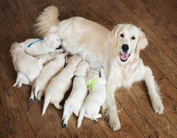 embarazo de una perra