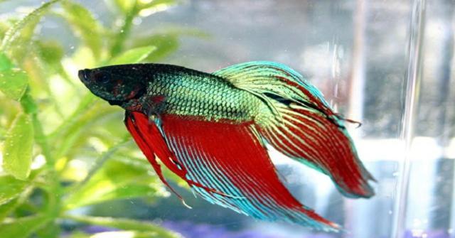 un pez betta