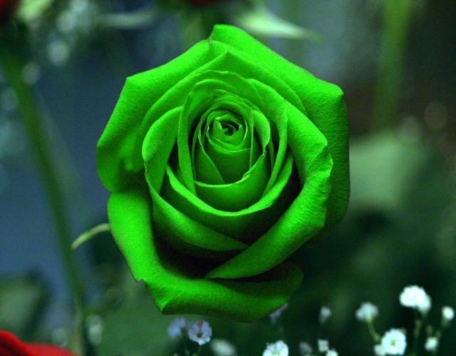 Significado de las rosas según su color