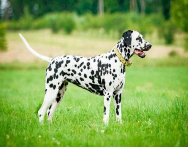 un cachorro dalmata