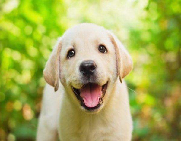 Cómo cuidar a un perro labrador