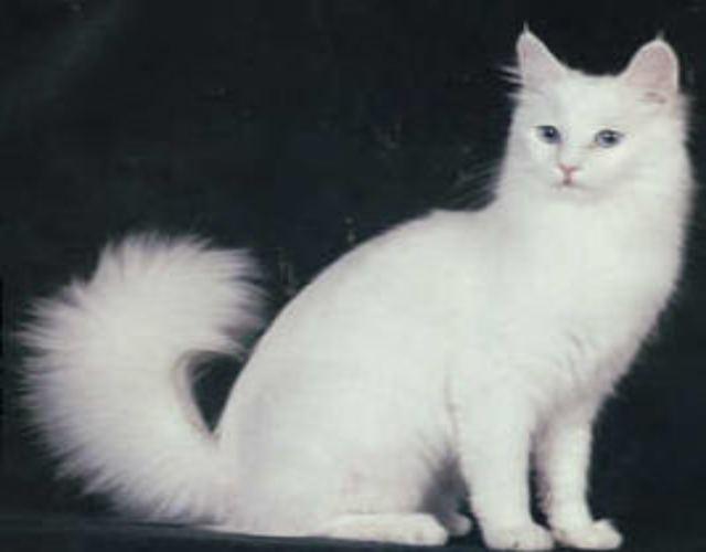 Cómo cuidar un gato angora