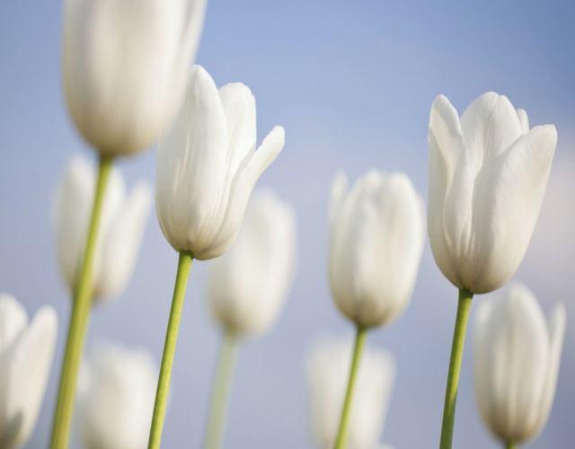 Cuáles son los tipos de tulipanes