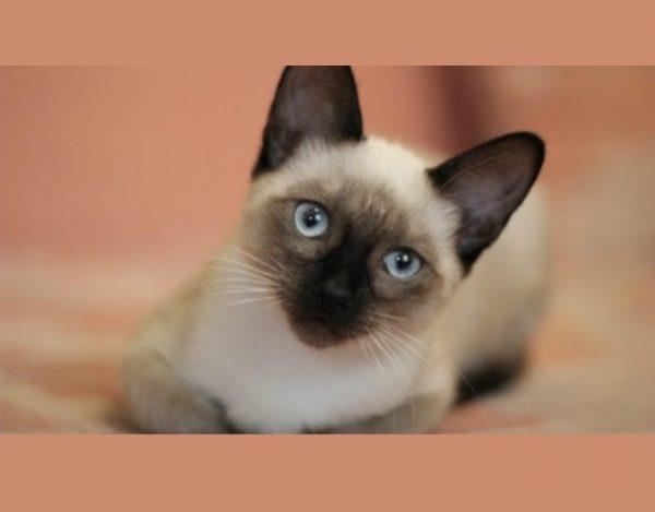 cuidar un gato siamés