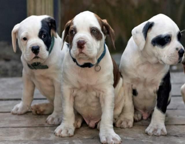 Cómo cuidar un bulldog americano