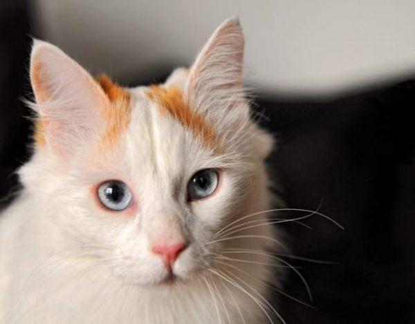 Cómo limpiar las orejas del gato