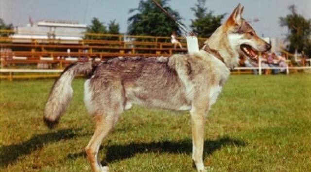 perro Lobo Checoslovaco