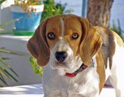 perro beagle