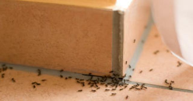 hormigas con remedios naturales