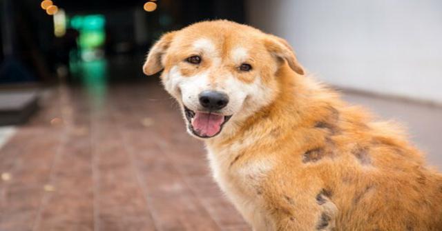 la sarna en perros