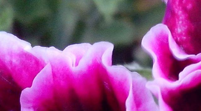 ¿Por qué no florece el geranio? Causas principales