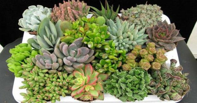 las plantas crasas