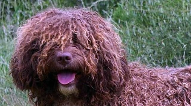 Cómo cuidar a un perro de agua español-min