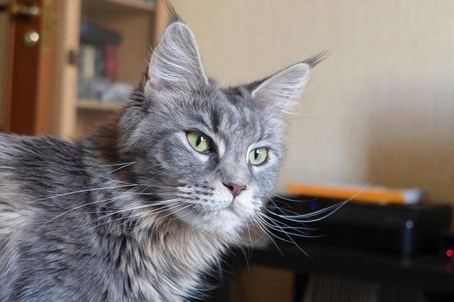 gato Maine Coon