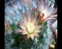 cómo hacer florecer a un cactus