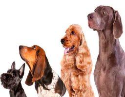 Cuáles son las razas de perro medianas