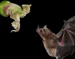 Cómo se dice murciégalo o murciélago