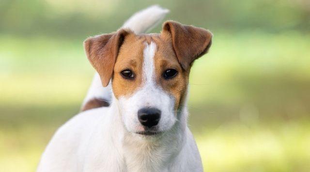 Cómo cuidar a un Jack Russell Terrier