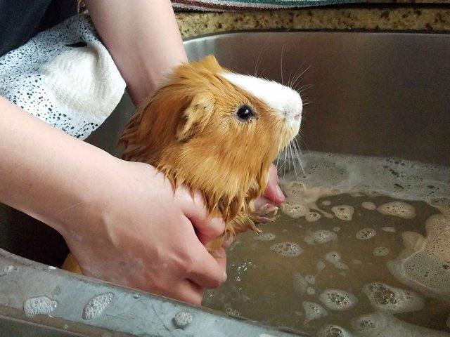 bañar una cobaya