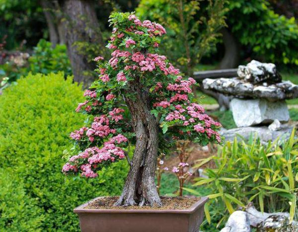 cuidar un bonsai