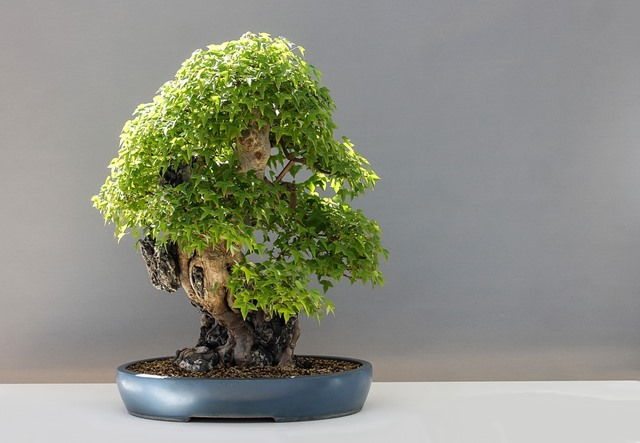 cuidar un bonsai