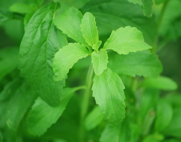 cultivar la stevia