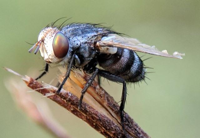 larvas de mosca