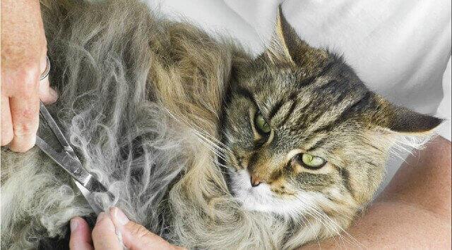 cepillas a un gato