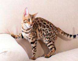 cuidar un gato de bengala