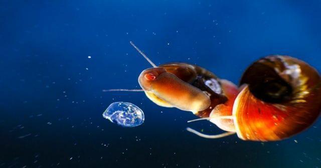 quitar los caracoles de un acuario