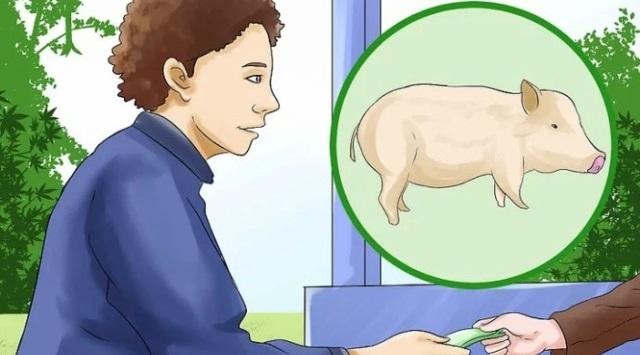 cuidar un cerdo de mascota