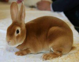 cuidar un conejo Rex