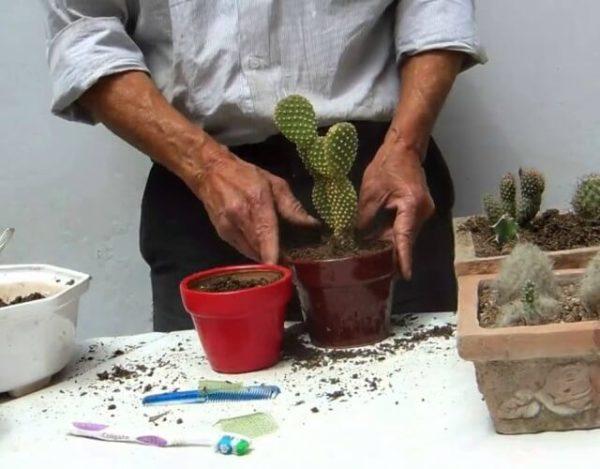 transplantar un cactus