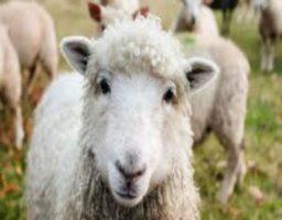 esquilar ovejas