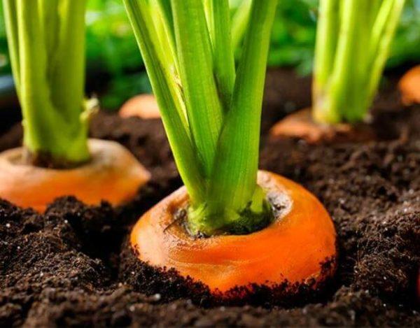 cultivar zanahorias