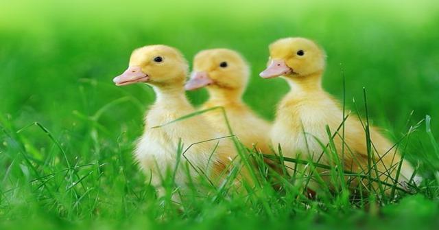 cuidar a un pato pequeño