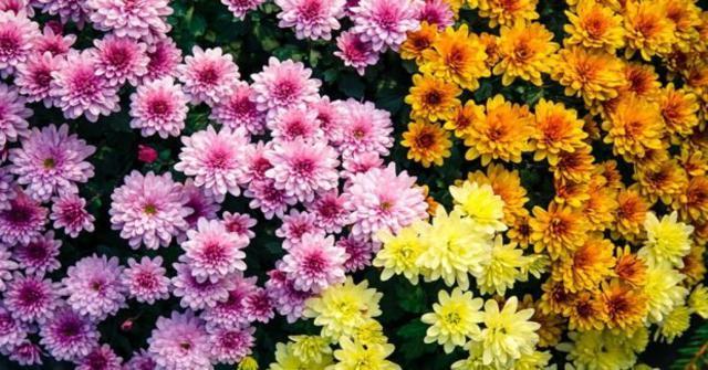 cuidar crisantemos